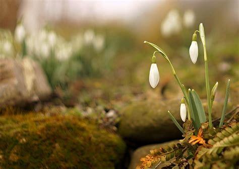 Bezmaksas foto: Sniegpulkstenītes, ziedi, Pavasaris, balta, sniegpulkstenīte, daba, puķe | Hippopx