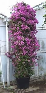 Bougainvillea Blüht Nicht : bougainvillea glabra 39 sanderina 39 k belpflanze ~ Lizthompson.info Haus und Dekorationen