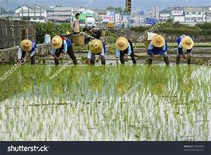 Dali - May 22: Chinese Farmers Work Hard On The Rice Field ...