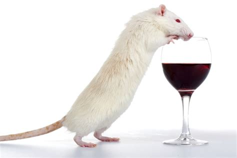 mouse study  lead   pill  squashes cravings