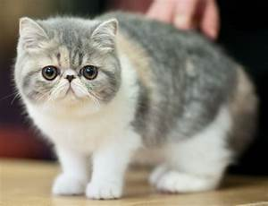 Exotic Shorthair - Cat, Kittens, Facts, Personality ...