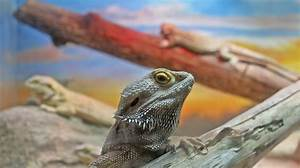 Bearded Dragon Morph Chart