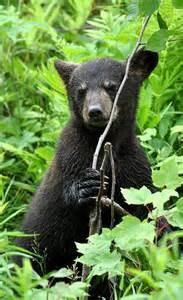 Carl Brenders Black Bear Cubs