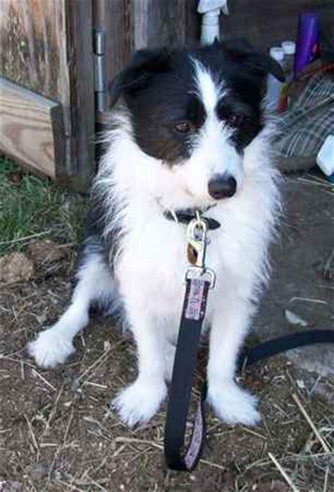 corgipoo corgi  poodle mix info temperament training