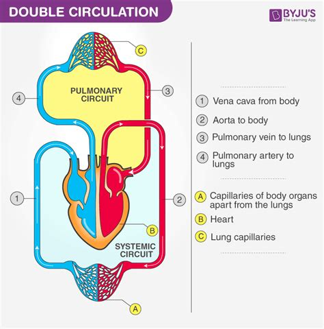 double circulation blood circulation  humans byjus