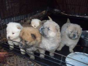 Chow Chow Puppies Available for Adoption - Rome, GA ...