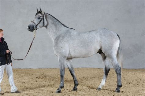 upsilon stallion arabian anglo shagya horse semen frozen equine superiorequinesires