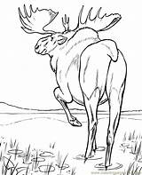 Moose Coloring Walking Pages Printable Animals Mouse Coloringpages101 sketch template