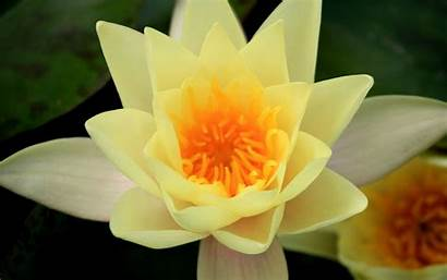 Wallpapers Liliy Yellow Water Android