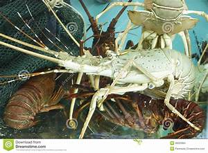 Live Lobsters In A Holding Tank Stock Images - Image: 36025884