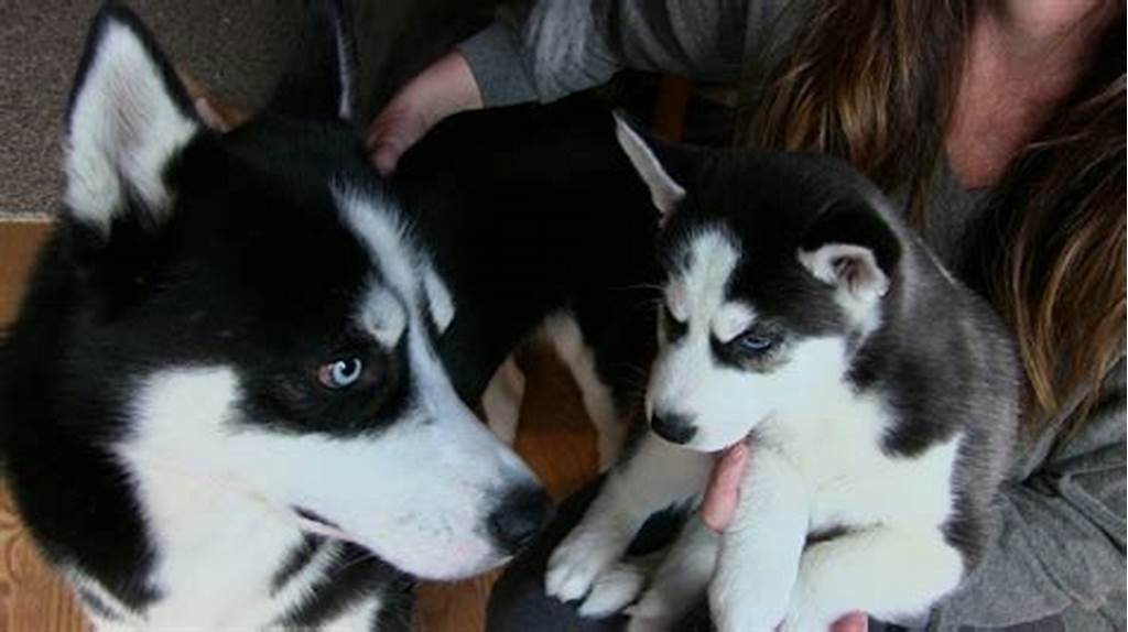 #Siberian #Husky #Puppy #Meets #His #Dad