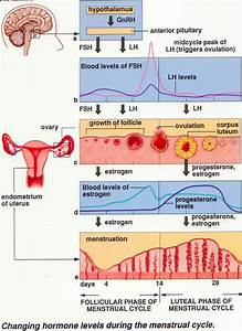 The Ovarian And Menstrual Cycle