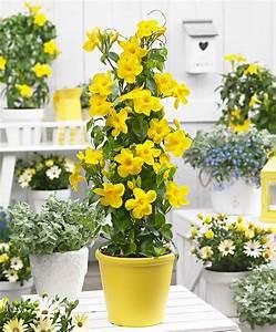 Dipladenia Gelbe Blätter : kaufen sie jetzt k belpflanze chilenischer jasmin 39 yellow 39 kaufen ~ Udekor.club Haus und Dekorationen