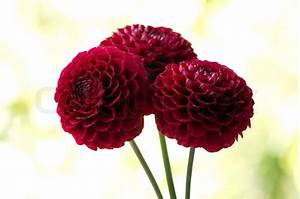 Red dahlia flower Stock Photo Colourbox