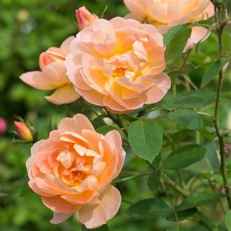 of roses jo thompson