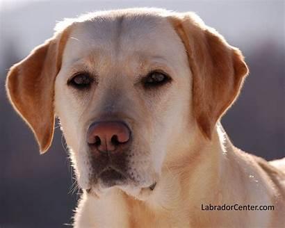 Labrador Yellow Retriever Lab Labs Desktop Wallpapers