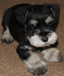 Black And Silver Miniature Schnauzer Cb Fjpg Photo Shared By
