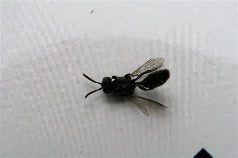 insectes dans la cuisine insecte volant xylophage