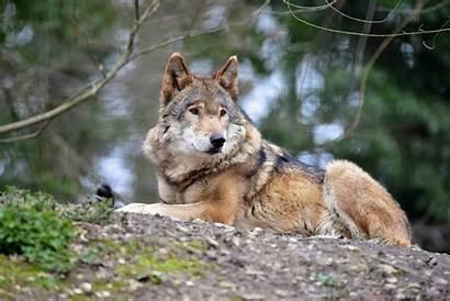 Wolf Timber Bing Tierparkstadthaag Found Tierpark Raubtiere