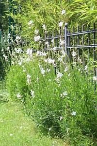 Pflanzen Im Juli : lieblingspflanze im juli prachtkerze gaura lindheimeri my garden pinterest garten ~ Orissabook.com Haus und Dekorationen