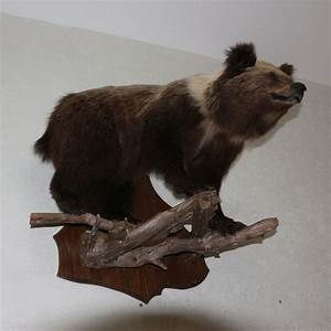 Small, Siberian, Brown, Bear