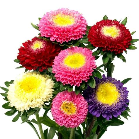 Pinocchio Organic Aster Seeds Shipping Is Free For