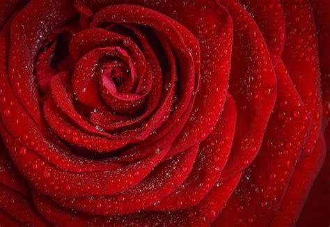Rose  Images Gratuites Sur Pixabay
