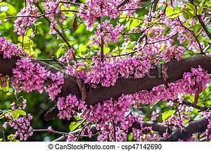 Rosa Blüten Baum : rosa bl ten baum bl hen rosa flowers baum bl hen stockfotos suche foto clipart ~ Yasmunasinghe.com Haus und Dekorationen