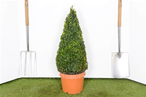 60cm Topiary Box cone for sale