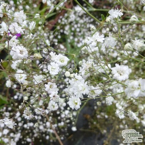 gypsophila paniculata bristol fairy jacksons nurseries