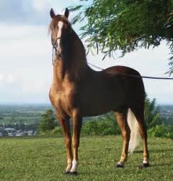 File:Puerto rican-Paso-Fino-Horse-chestnut.jpg - Wikipedia ...