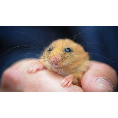 BBC Nature - Microchips for northern dormice