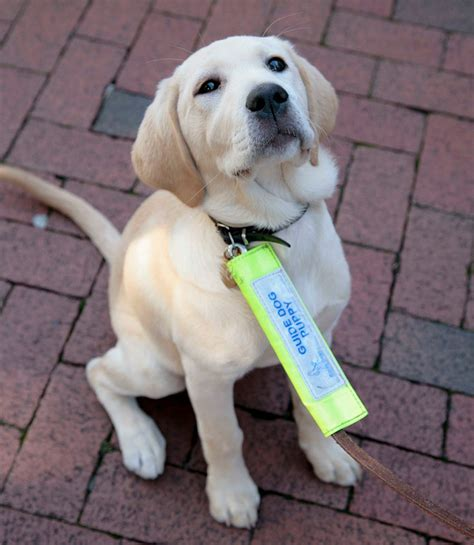 stages  life   guide dog  puppy