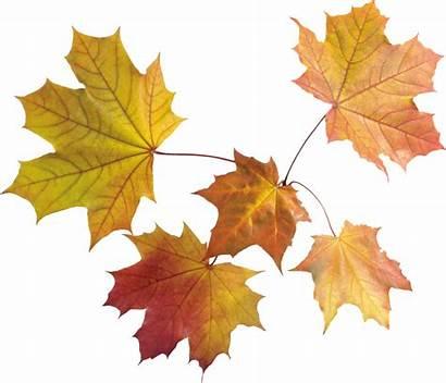 Autumn Leaf Transparent Purepng