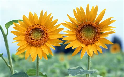 sunflower summer day wallpapers  images