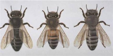 bienen niedrigere klassifizierungen bienen niedrigere klassifizierungen sandbienen wildbienen was ist eine biene