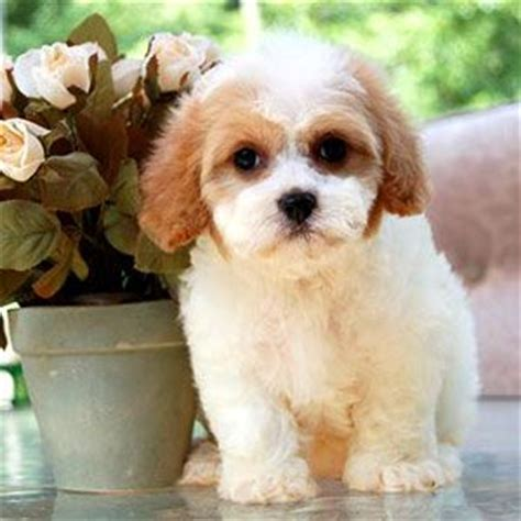 Do Cavachons Shed by 1000 Images About We Cavachons On