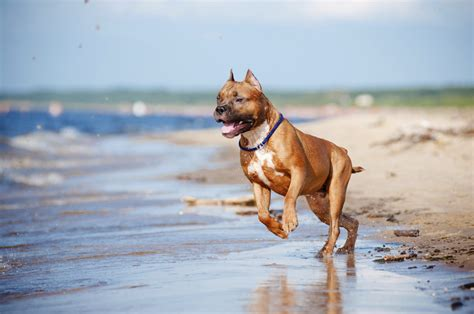 pit pictures images photos amazing information about the shar pei pit bull mix breed