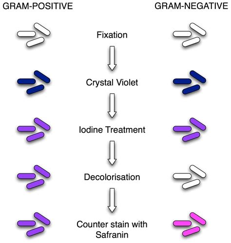 gram positive is what color gram staining principle procedure and results