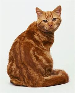 British Shorthair Red Tabby | Cat Breeds | Pinterest