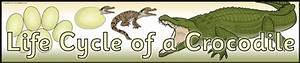 Life Cycle Of A Crocodile Display Banner  Sb10572