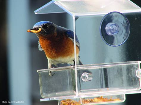 wild birds unlimited how to attract bluebirds