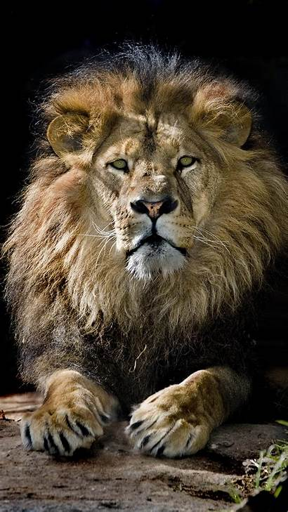 Lion Iphone King 6s Wallpapers Yopriceville