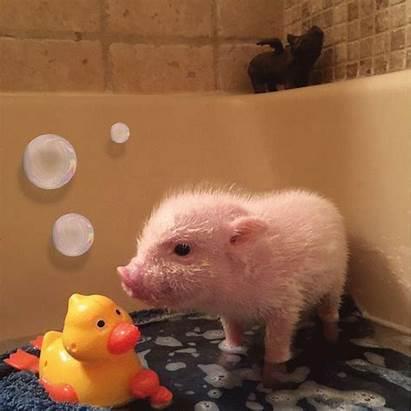 Pigs Pet Piglets Teacup Miniature Pig Animals