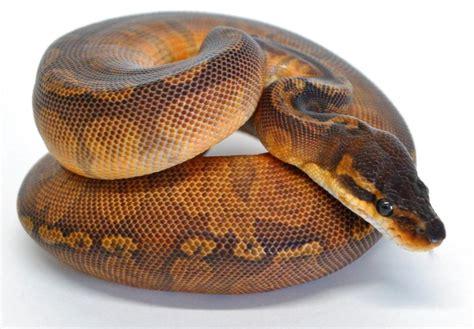 Python Shedding Signs by Sunset Python