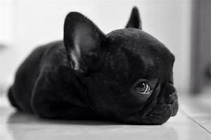 Baby French Bulldog Puppies Black