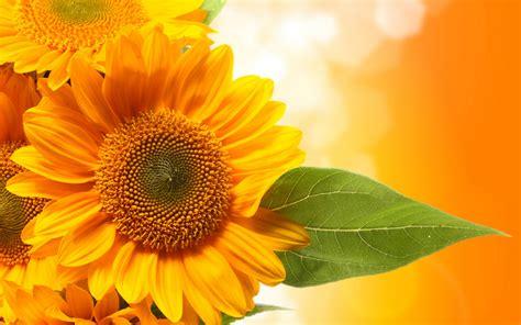 Sunflowers leaves green wallpaper   2880x1800   125382 ...