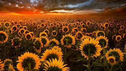 Sunflower Field Wallpapers Laptop 1080p Nature Backgrounds