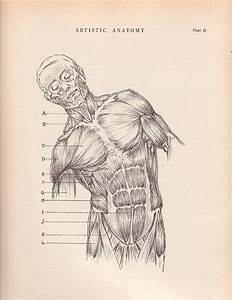 1000  Images About Skeletal Muscles On Pinterest