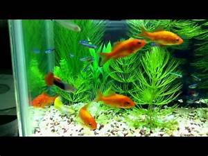Goldfish True Rummynose Tetra Neon Tetra Cardinal Tetra
